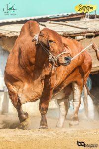 minaar-e-pakistan by jamal cattle