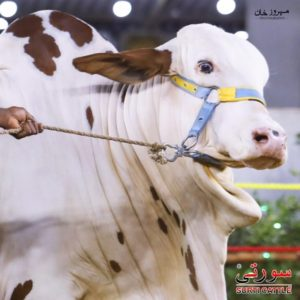 white beauty by surti cattle